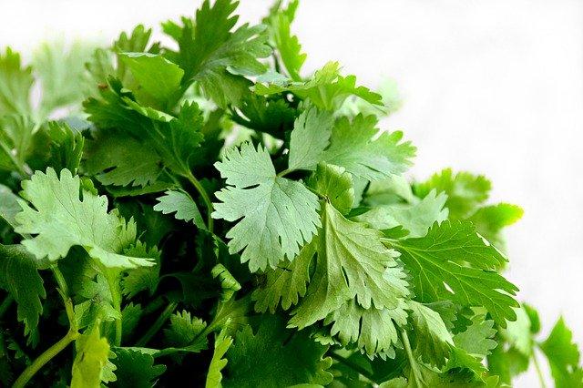 Coriandre : plante utilisée en phytothérapie.