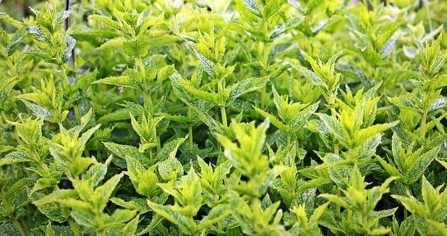 Menthe : plante aromatique qui présente de nombreux bienfaits et vertus.