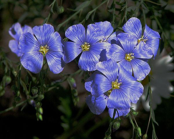 Lin : plante médicinale utilisée en phytothérapie.