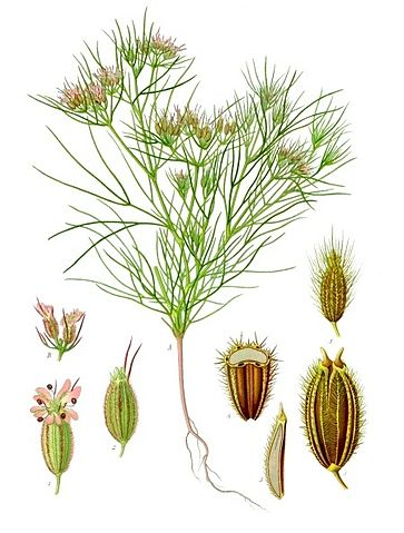 Cumin : plante utilisée en phytothérapie.