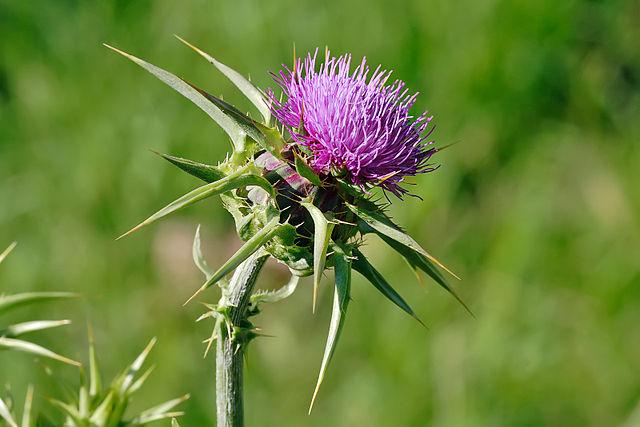 Le chardon marie est une plante médicinale utilisée en phyothérapie.