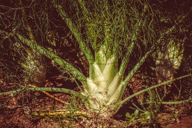 Fenouil : plante disposant de nombreux bienfaits pour l'organisme.