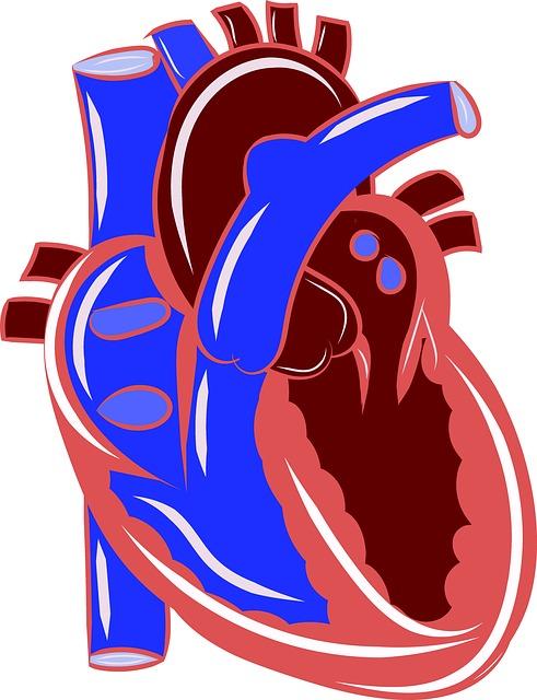 Cœur : l'infarctus du myocarde détruit une partie du muscle cardiaque.