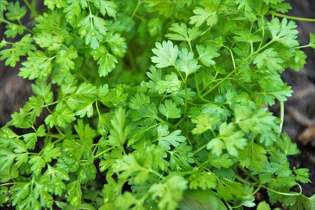 Cerfeuil : plante herbacée, utilisée en phytothérapie.