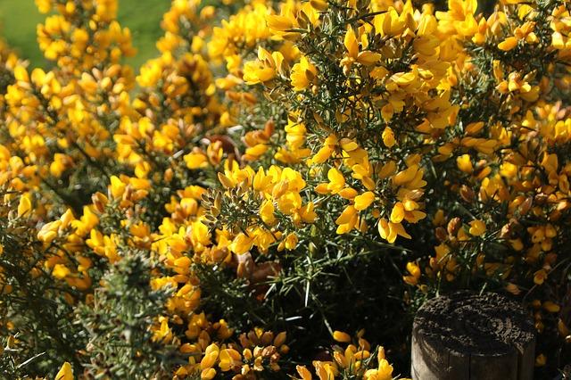 Gorse ou l'ajonc est une fleur de Bach.