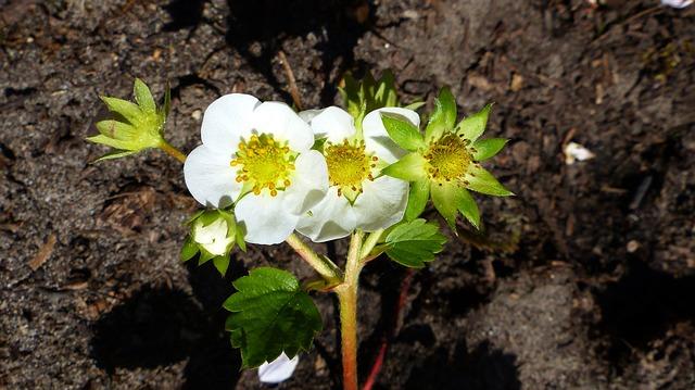 Fraisier : plante médicinale utilisée en phytothérapie.