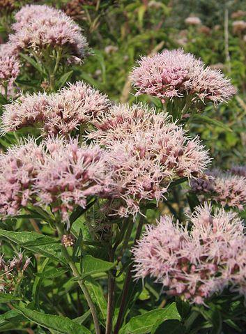 Eupatoire ou Eupatorium Cannabinum : plante utilisée pour ses propriétés médicinales.