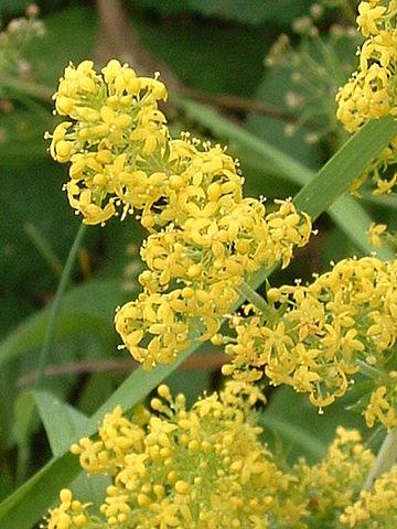 Gaillet (Galium Verum) : plante utilisée pour ses propriétés médicinales.