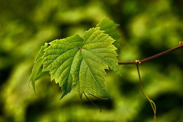 Feuille de vigne : vine ou La Vigne est une fleur de Bach.