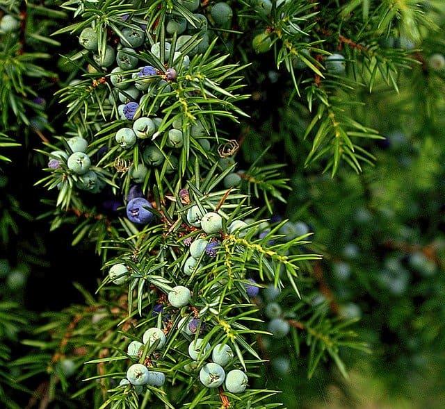 Genévrier commun : plante reconnue pour ses nombreux bienfaits.