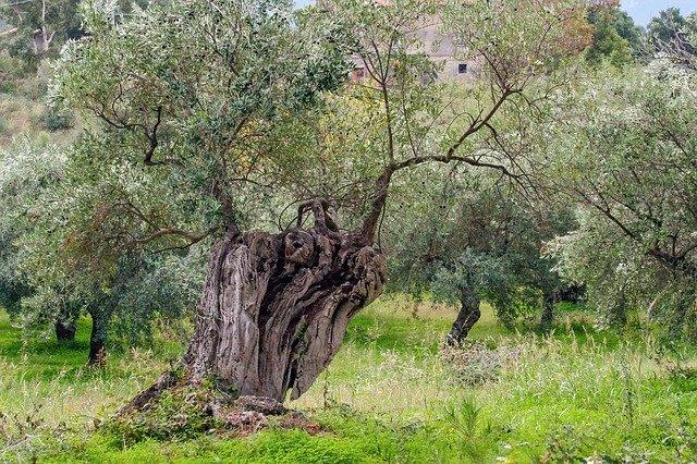 Olive ou l'Olivier est une fleur de Bach.