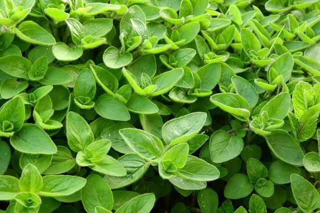 Marjolaine : plante médicinale qui présente de nombreux bienfaits et vertus.