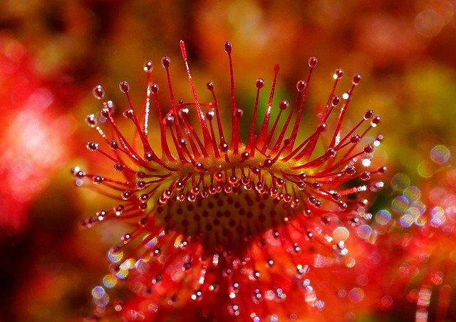 Drosera : plante carnivore, utilisée notamment pour soigner le mal de gorge.