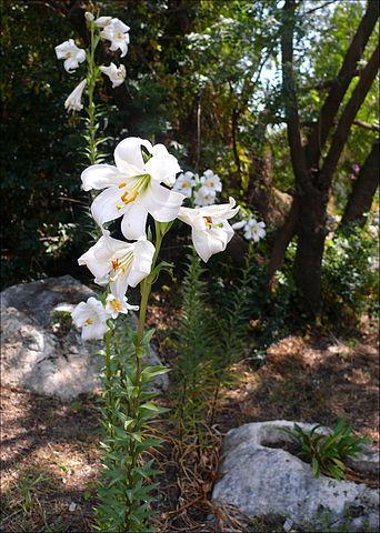 Lis blanc (Lilium Candidum) : plante médicinale utilisée en phytothérapie.
