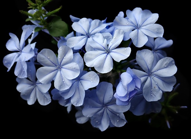 Cerato, le plumbago, est une fleur de Bach.