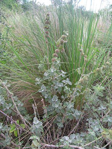 Marrube blanc : plante utilisée pour ses vertus médicinales.