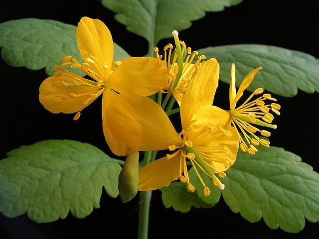 Chélidoine : plante médicinale utilisée pour traiter les verrues.