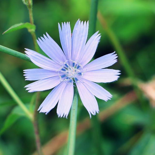 Chicorée : plante médicinale utilisée en phytothérapie.