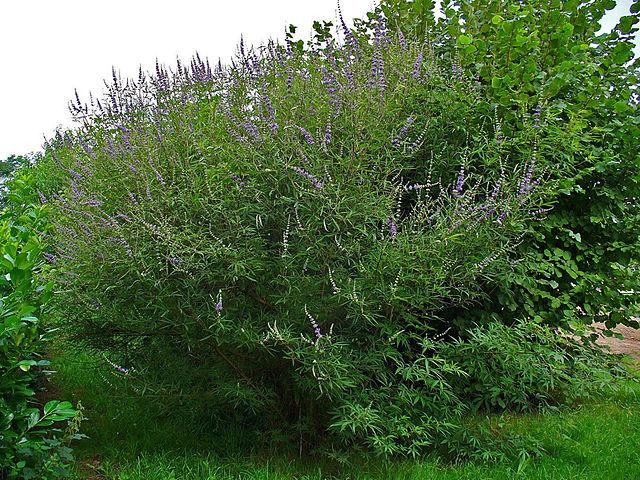 Gattilier : plante médicinale qui dispose de nombreux bienfaits.
