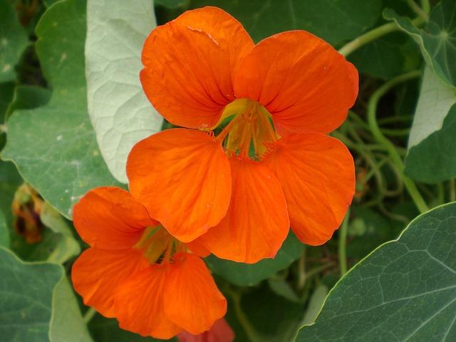 Capucine : plante médicinale utilisée en phytothérapie.