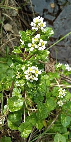 La Cochléaire ou Cochlearia officinalis est une plante médicinale utilisée en phytothérapie.