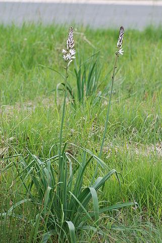 Asphodèle blanc (Asphodelus albus): plante aux vertus médicinales intéressantes.