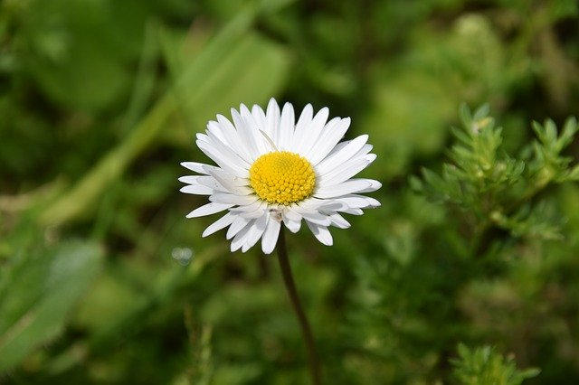 Pâquerette ou pâquerette vivace (Bellis perennis) : plante utilisée pour ses vertus médicinales.