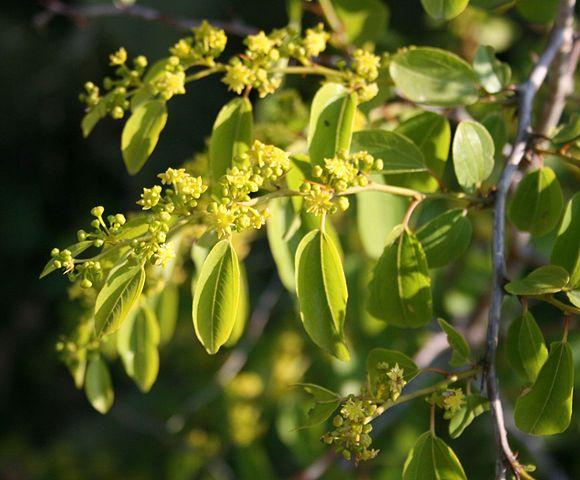 Paliure (Rhamnus paliurus) : plante médicinale qui présente de nombreux bienfaits et propriétés.