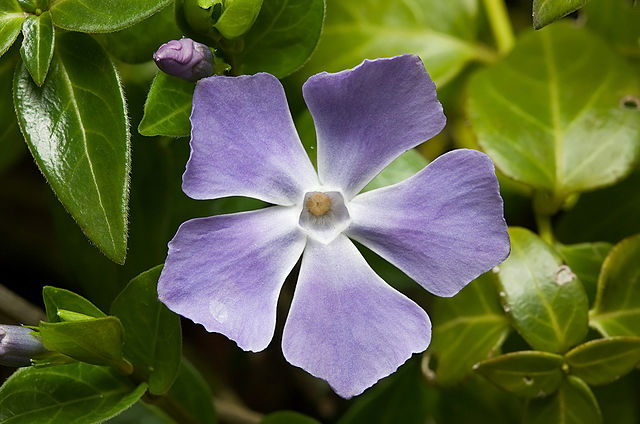 Grande Pervenche (Vinca major): plante médicinale utilisée en phytothérapie.
