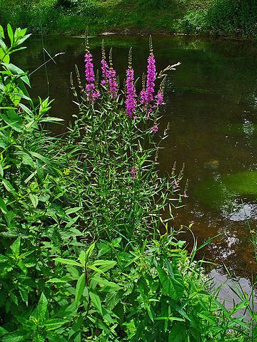 Salicaire commune (Lythrum salicaria): plante qui offre de nombreuses propriétés médicinales.