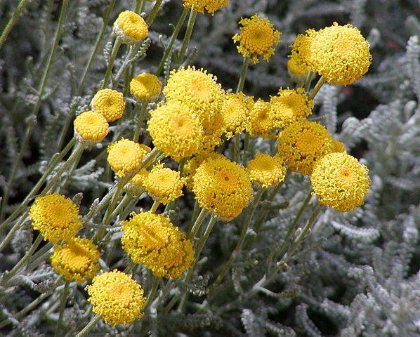 Santoline petit cyprès (Santolina chamaecyparissus):  arbrisseau aux nombreuses propriétés médicinales.