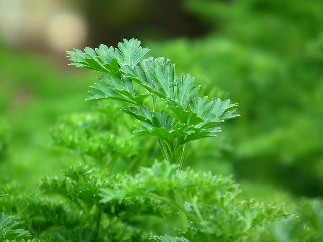Persil (Petroselinum crispum): plante médicinale qui présente de nombreux vertus et bienfaits.