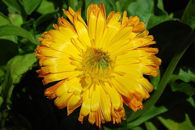 Souci officinal (Calendula officinalis): plante aux propriétés médicinales intéressantes.