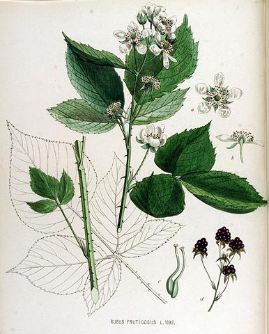 Ronce commune (Rubus Fruticosus): arbuste épineux qui dispose de nombreuses propriétés thérapeutiques.