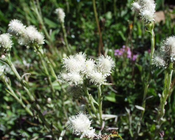 Pied de chat dioïque (Antennaria dioica): plante médicinale utilisée en phytothérapie.
