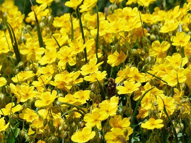 Rock Rose, l'hélianthème, une des cinq Fleurs de Bach du remède Rescue.