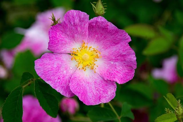 La rose de provins ou Rosa gallica offre de nombreuses propriétés médicinales.