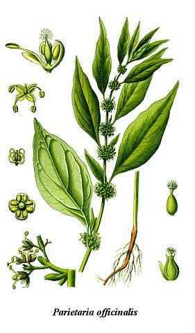Pariétaire (Parietaria officinalis) : plante reconnue pour ses bienfaits et vertus médicinales.