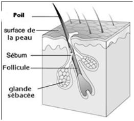 Schéma représentant le follicule pilo-sébacé ou follicule pileux.