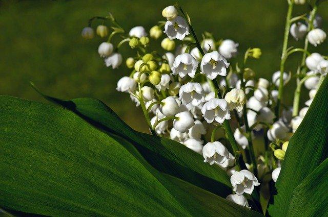 Muguet : plante médicinale mais toxique, elle doit être utilisée avec précaution.