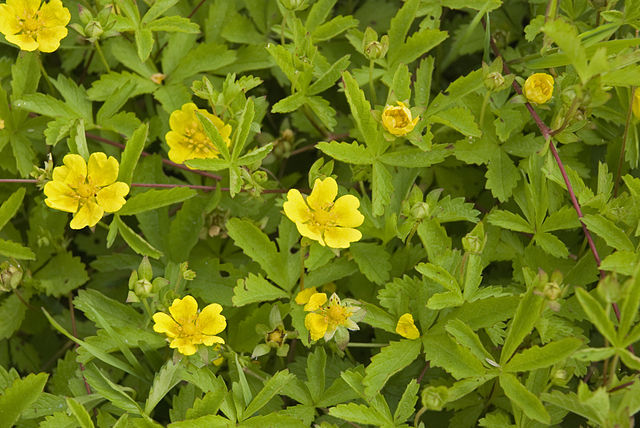 Potentille rampante (Potentilla Reptans): plante médicinale et comestible.