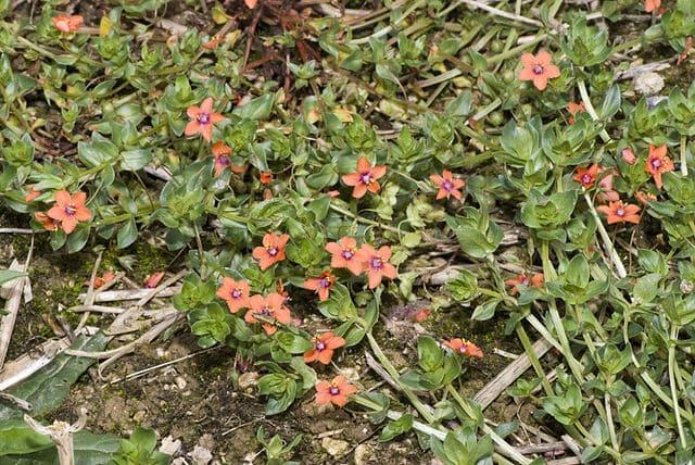 Mouron rouge (Anagallis arvensis) : plante médicinale utilisée en phytothérapie.