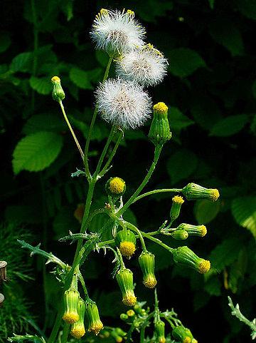Séneçon commun (Senecio vulgaris): plante aux propriétés médicinales intéressantes.