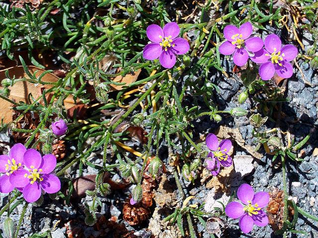 Sabline (Arenaria rubra): plante qui offre des propriétés médicinales intéressantes.