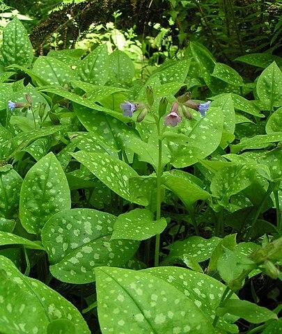 Pulmonaire officinale (Pulmonaria officinalis): plante qui offre des vertus médicinales intéressantes.