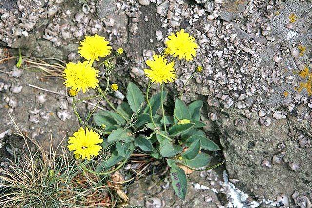 Piloselle (Hieracium pilosella): plante médicinale utilisée en phytothérapie pour ses nombreuses propriétés et vertus.