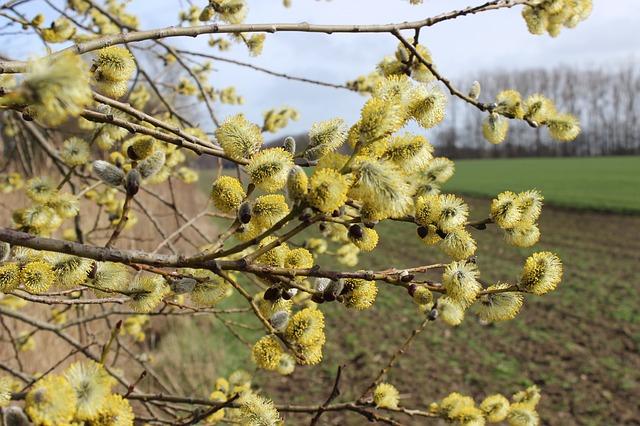Willow, le Saule, est une fleur de Bach.