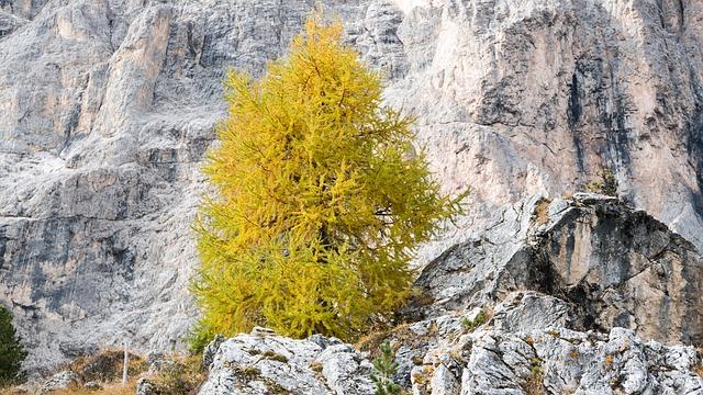 Larch, le mélèze, est une fleur de Bach.