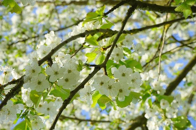 Prunier en fleurs: Cherry Plum, le prunus, est une fleur de Bach.