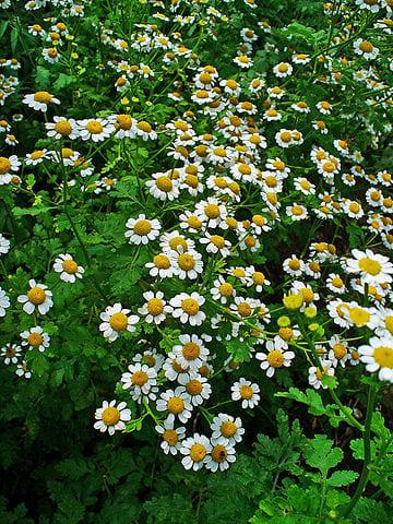 Grande camomille (Tanacetum parthenium) : plante utilisée en phytothérapie pour ses bienfaits sur la santé.
